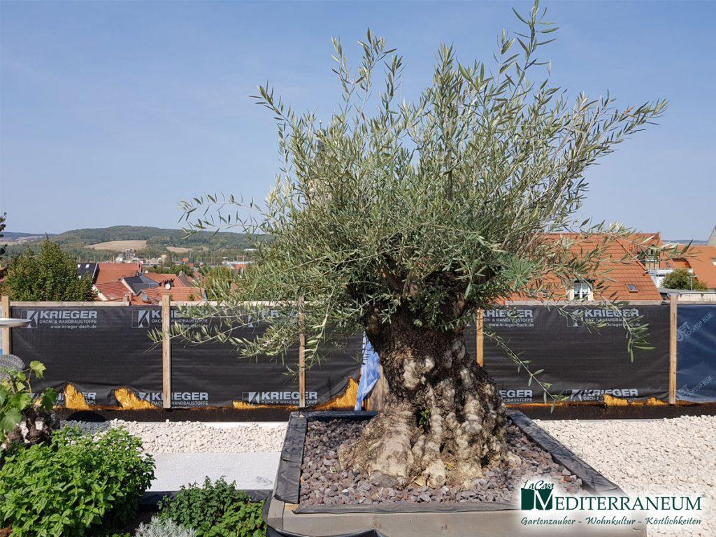 olivenbaum3