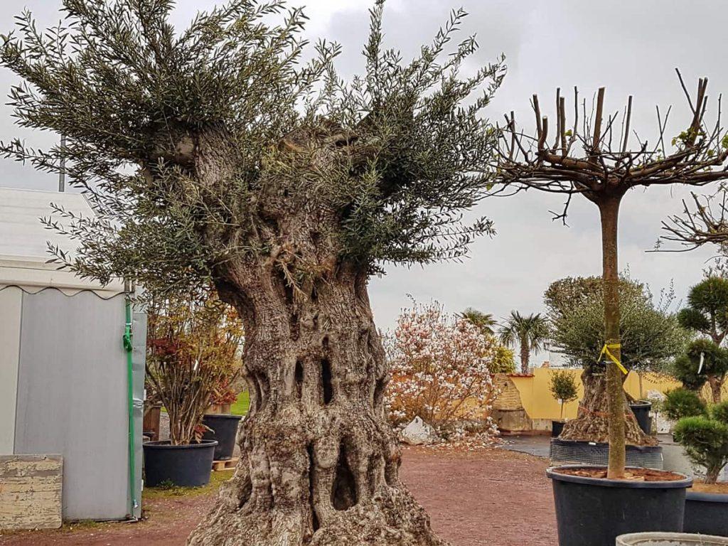 Olive6